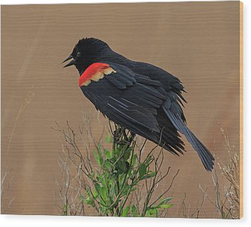 Wood Print featuring the photograph Red Winged Blackbird by Robert Pilkington
