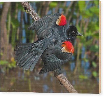 Red-winged Blackbird Wood Print by Suzanne Stout