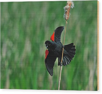 Red-winged Blackbird Wood Print by Tony Beck