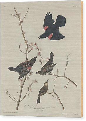 Red-winged Starling Wood Print