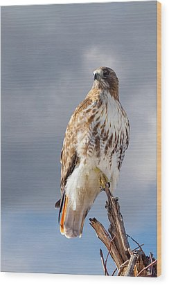 Redtail Portrait Wood Print by Bill Wakeley