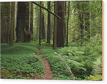 Redwood Forest Path Wood Print