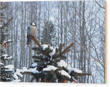 Refined Little Gray Jay In Colorado Wood Print