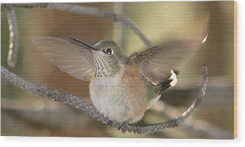 Resting Humming Bird Wood Print