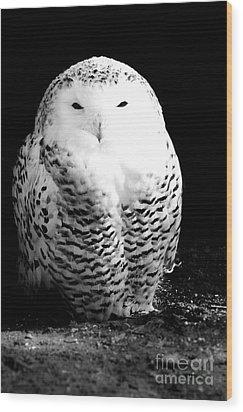 Resting Snowy Owl Wood Print by Darcy Michaelchuk