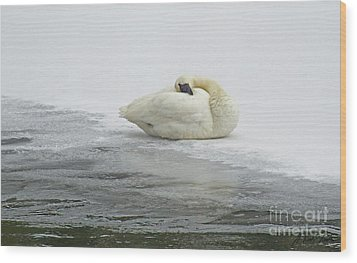 Resting Swan-signed-#1314 Wood Print