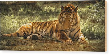 Wood Print featuring the photograph Resting Tiger by Chris Boulton