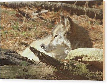 Resting Wolf Wood Print by Karol Livote