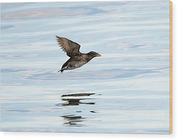 Rhinoceros Auklet Reflection Wood Print