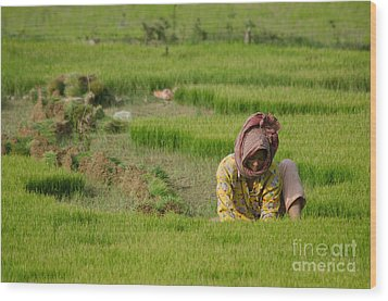 Wood Print featuring the photograph Rice Field Worker Harvests Rice In Green Field In Southeast Asia by Jason Rosette