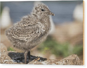 Wood Print featuring the photograph Ring-billed Gull Chick 2016-1 by Thomas Young