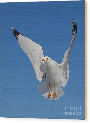 Ring Billed Gull In Flight Wood Print by Mircea Costina Photography