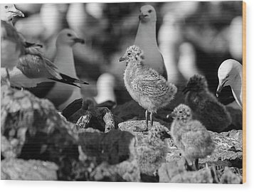 Wood Print featuring the photograph Ring-billed Gulls 2016-1 by Thomas Young