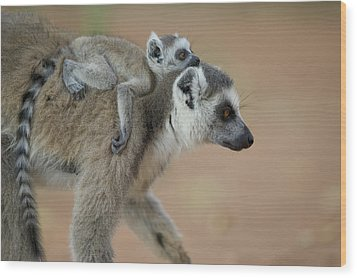 Ring-tailed Lemur Mom And Baby Wood Print by Cyril Ruoso