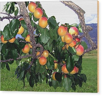 Ripe Apricots Wood Print by Will Borden