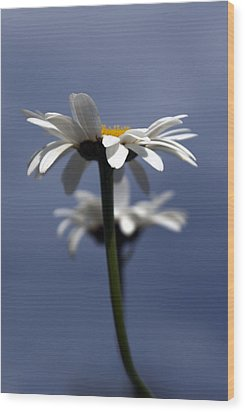 Rising Daisies Wood Print