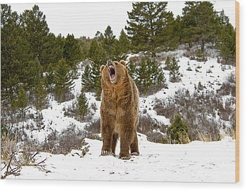 Roaring Grizzly In Winter Wood Print