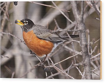 Robin Eating Wood Print by Chris Hill