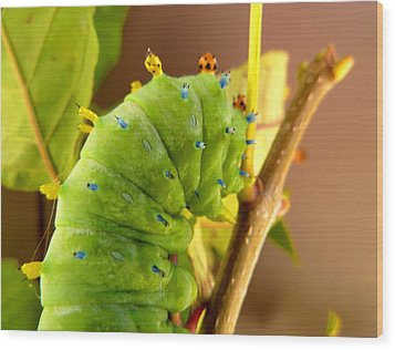 Robin Moth Caterpillar Wood Print by Claire Bull
