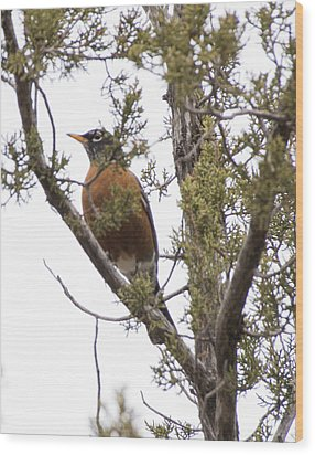 Robin On The Lookout Wood Print by Laura Pratt