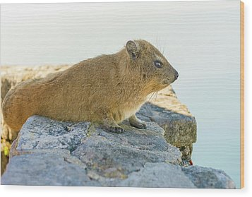 Rock Hyrax On Table Mountain Cape Town South Africa Wood Print by Marek Poplawski