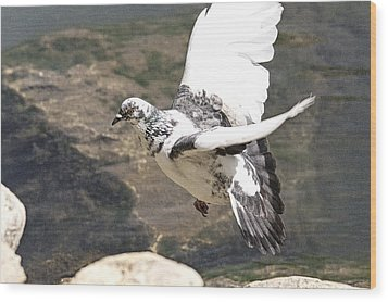 Rock Pigeon In Flight Wood Print
