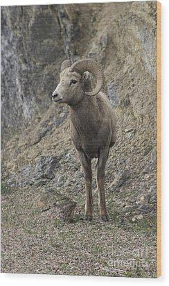Rockies Big Horn Wood Print