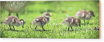 Wood Print featuring the photograph Rogue Duckling, Yanchep National Park by Dave Catley