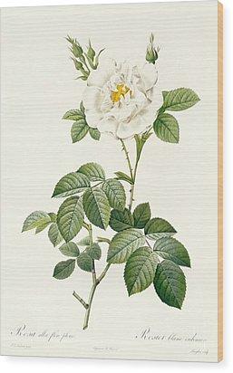 Rosa Alba Flore Pleno Wood Print by Pierre Joseph Redoute
