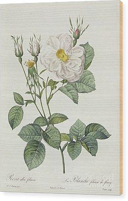Rosa Alba Foliacea Wood Print by Pierre Joseph Redoute