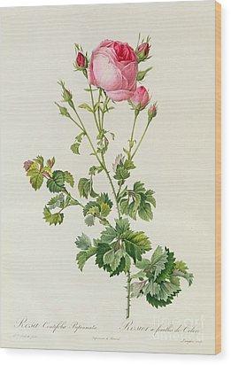 Rosa Centifolia Bipinnata Wood Print by Pierre Joseph Redoute