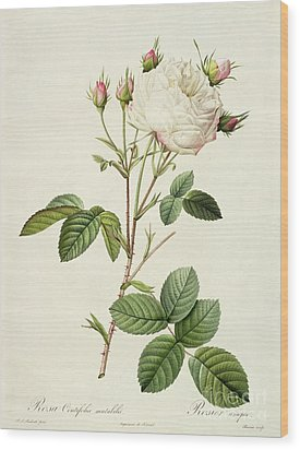 Rosa Centifolia Mutabilis Wood Print by Pierre Joseph Redoute