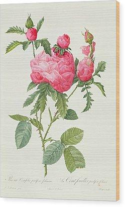 Rosa Centifolia Prolifera Foliacea Wood Print by Pierre Joseph Redoute