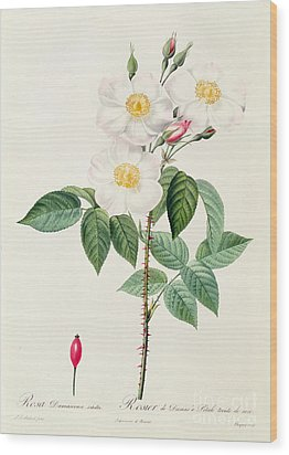 Rosa Damascena Subalba Wood Print by Pierre Joseph Redoute