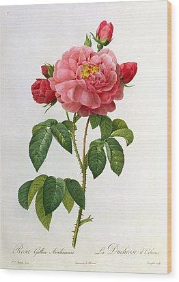 Rosa Gallica Aurelianensis Wood Print by Pierre Joseph Redoute