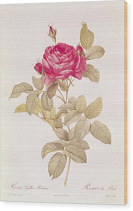 Rosa Gallica Pontiana Wood Print by Pierre Joseph Redoute