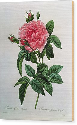 Rosa Gallica Regallis Wood Print by Pierre Joseph Redoute