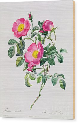 Rosa Lumila Wood Print by Pierre Joseph Redoute