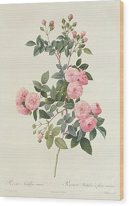 Rosa Multiflora Carnea Wood Print by Pierre Joseph Redoute