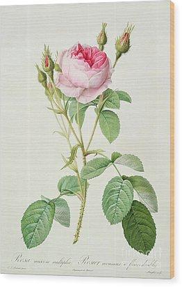 Rosa Muscosa Multiplex Wood Print by Pierre Joseph Redoute