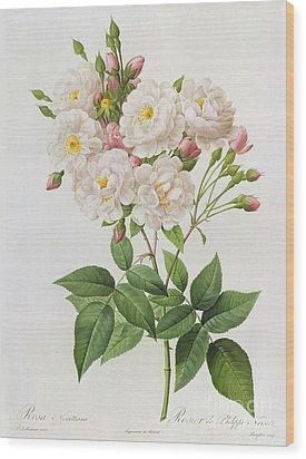 Rosa Noisettiana Wood Print by Pierre Joseph Redoute