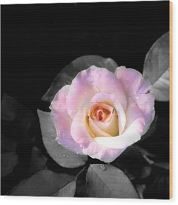 Rose Emergance Wood Print
