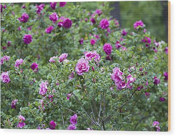 Rose Garden Wood Print by Frank Tschakert