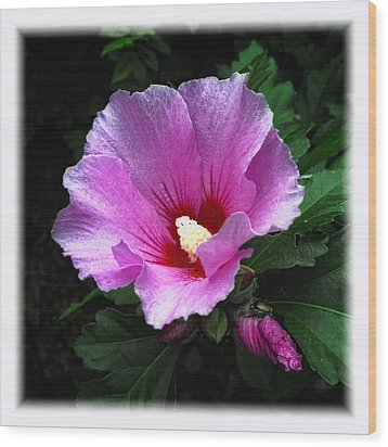 Rose Of Sharon Wood Print