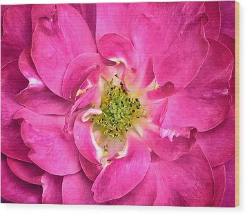 Rose Petals And Stamens - Close-up Of A Fuschia Colored Flower - Macro Photography Wood Print by Chantal PhotoPix