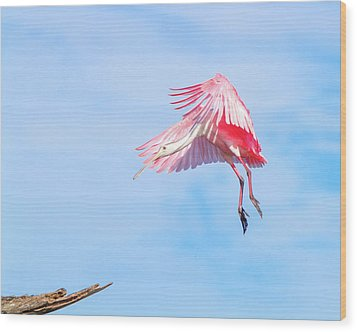Roseate Spoonbill Final Approach Wood Print by Mark Andrew Thomas