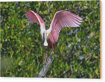 Roseate Spoonbill Wings Spread Wood Print by Alan Lenk