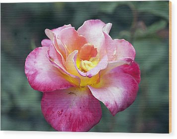 Rosebud Wood Print by Don  Wright