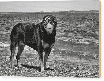 Rottweiler At The Shore Wood Print by Olivier Le Queinec