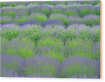 Rows Of Lavender Wood Print by Hegde Photos